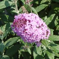 Buddleia Flutterby<sup>®</sup> Pink