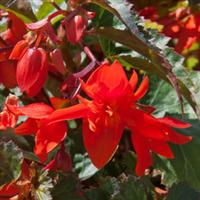 Fiery Orange Begonia