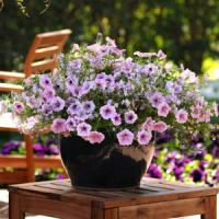 Petunia-Bacopa Cotton Candy Fuseables®