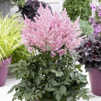 Astilbe New Wave