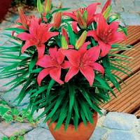Lily Asiatic Black Bird