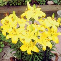 Lily Asiatic Pixie Bright