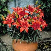 Lily Asiatic Pixie Crimson