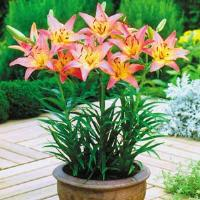 Lily Asiatic Pixie Pink