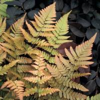 Fern Dryopteris Erythrosora Brilliance