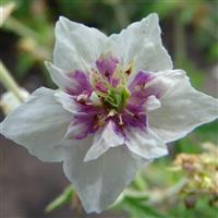 Geranium pratense Double Jewel