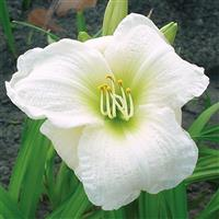 Hemerocallis Gentle Shepherd