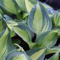 Hosta Lakeside Cupcake