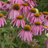 Echinacea purpurea Kims Knee High