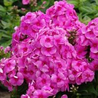 Phlox paniculata Top Shelf Cosmopolitan