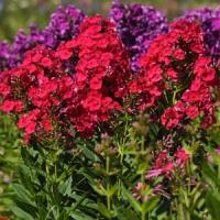 Phlox paniculata Top Shelf Grenadine Dream