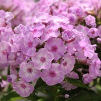 Phlox paniculata Top Shelf Pink Lady
