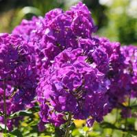 Phlox paniculata Top Shelf Purple Kiss
