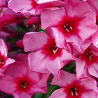 Phlox paniculata Top Shelf Red Caribbean