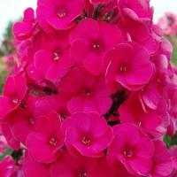 Phlox paniculata Top Shelf Strawberry Daiquiri