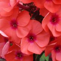 Phlox paniculata Top Shelf Tequila Sunrise