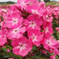 Phlox paniculata Top Shelf Watermelon Punch