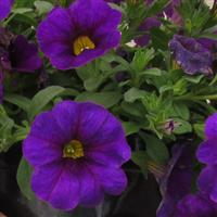 Combo Blue Calibrachoa