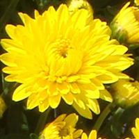 Katelli Yellow Garden Mum