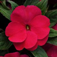 Divine™ Burgundy New Guinea Impatiens