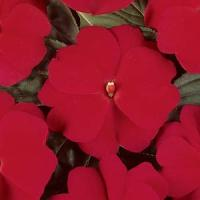 Divine™ Cherry Red New Guinea Impatiens