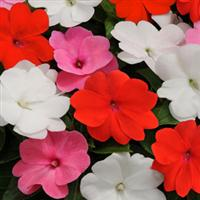 Divine™ Fresh Mixture New Guinea Impatiens