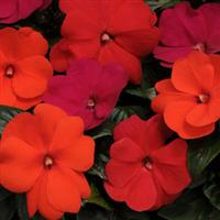 Divine™ Hot Cha Cha Mixture New Guinea Impatiens