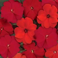 Divine™ Hot Mixture New Guinea Impatiens