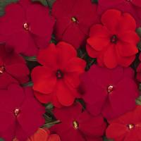 Divine™ Hot Mixture Improved New Guinea Impatiens