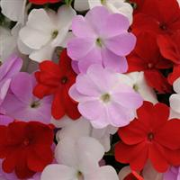 Divine™ Islander Mixture New Guinea Impatiens