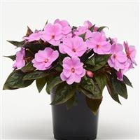 Divine™ Lavender Improved New Guinea Impatiens