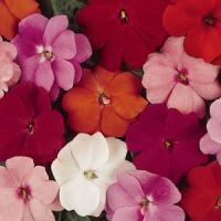 Divine™ Mixture Improved New Guinea Impatiens