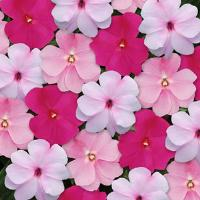 Divine™ Mystic Mixture Improved New Guinea Impatiens