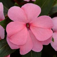 Divine™ Pink Improved New Guinea Impatiens