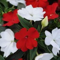 Divine™ Red White Mixture New Guinea Impatiens