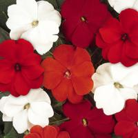 Divine™ Salsa Mixture Improved New Guinea Impatiens
