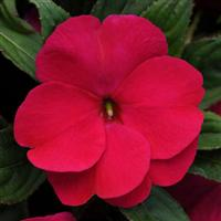Divine™ Violet Improved New Guinea Impatiens