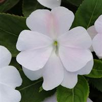 Divine™ White Blush New Guinea Impatiens