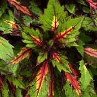 Marquee™ Special Effects Coleus