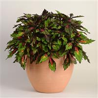 Special Effects Coleus