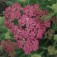 Achillea millefolium Seduction Saucy