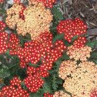 Achillea millefolium Seduction Strawberry