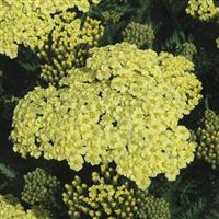 Achillea millefolium Seduction Sunny