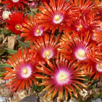 Delosperma Red Mountain<sup>®</sup> Flame