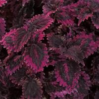 Florida Sun Rose Coleus