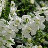 AngelMist<sup>®</sup> Spreading White Angelonia