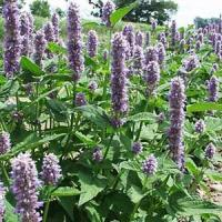 Agastache Honeybee Blue
