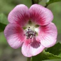 Anisodontea capensis Cape Mallow