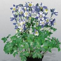 Aquilegia Music Blue White