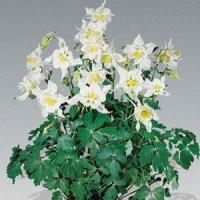 Aquilegia Music White